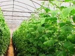 Чем подкормить огурцы в грунте, чтобы увеличить урожай в 2 раза