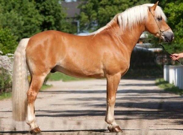 Соловая масть лошади: фото и характеристика