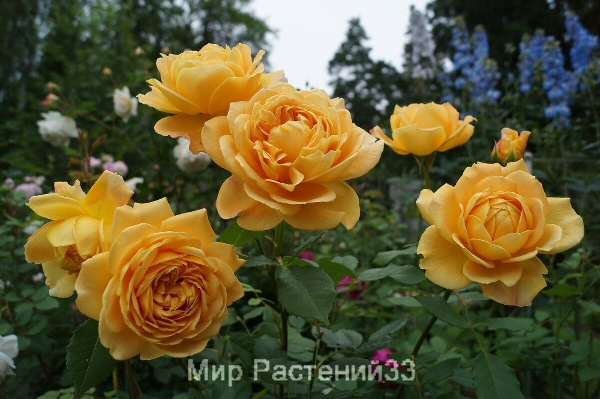 Секреты успешного выращивания крупноцветковой розы голден селебрейшен