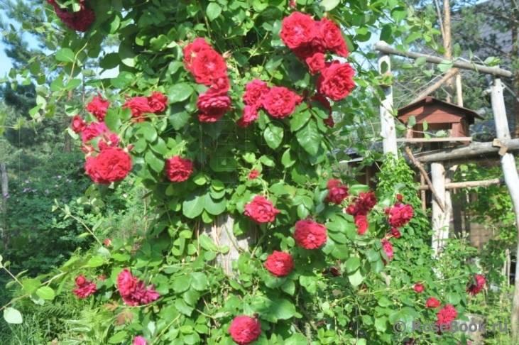 Канадские розы