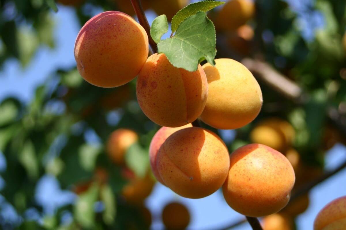 Выращивание абрикосовых деревьев в сибири и на урале