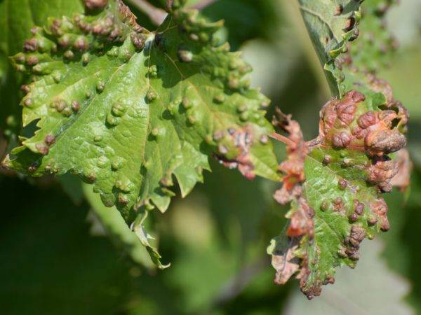 Сохнут листья у винограда: почему это происходит, как и чем лечить