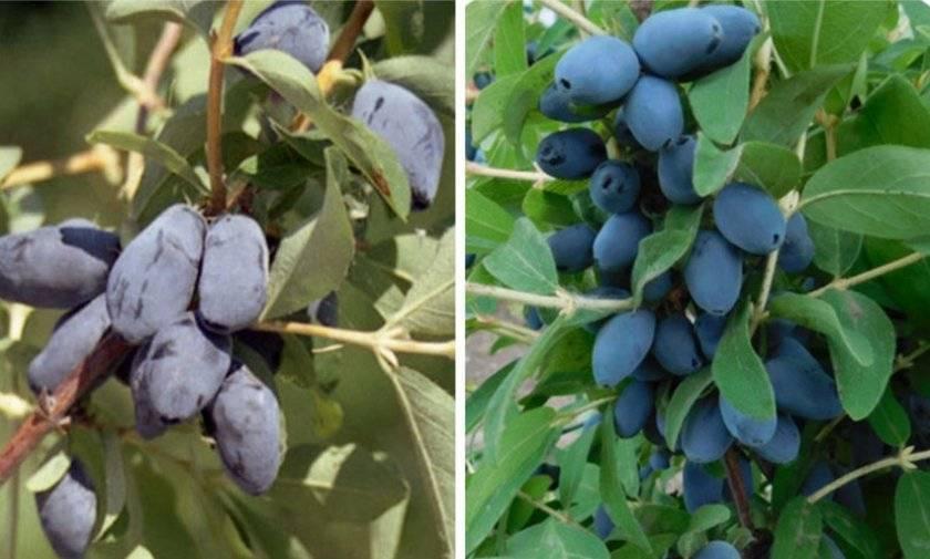 Жимолость берель: особенности выращивания, описание сорта, фото, отзывы