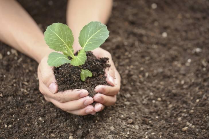 Выращивание рассады белокочанной капусты: хитрости огородника