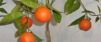 Правила пересадки мандаринового дерева