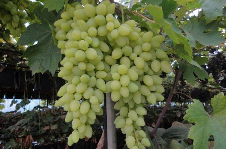Виноград долгожданный — ягоды грибы