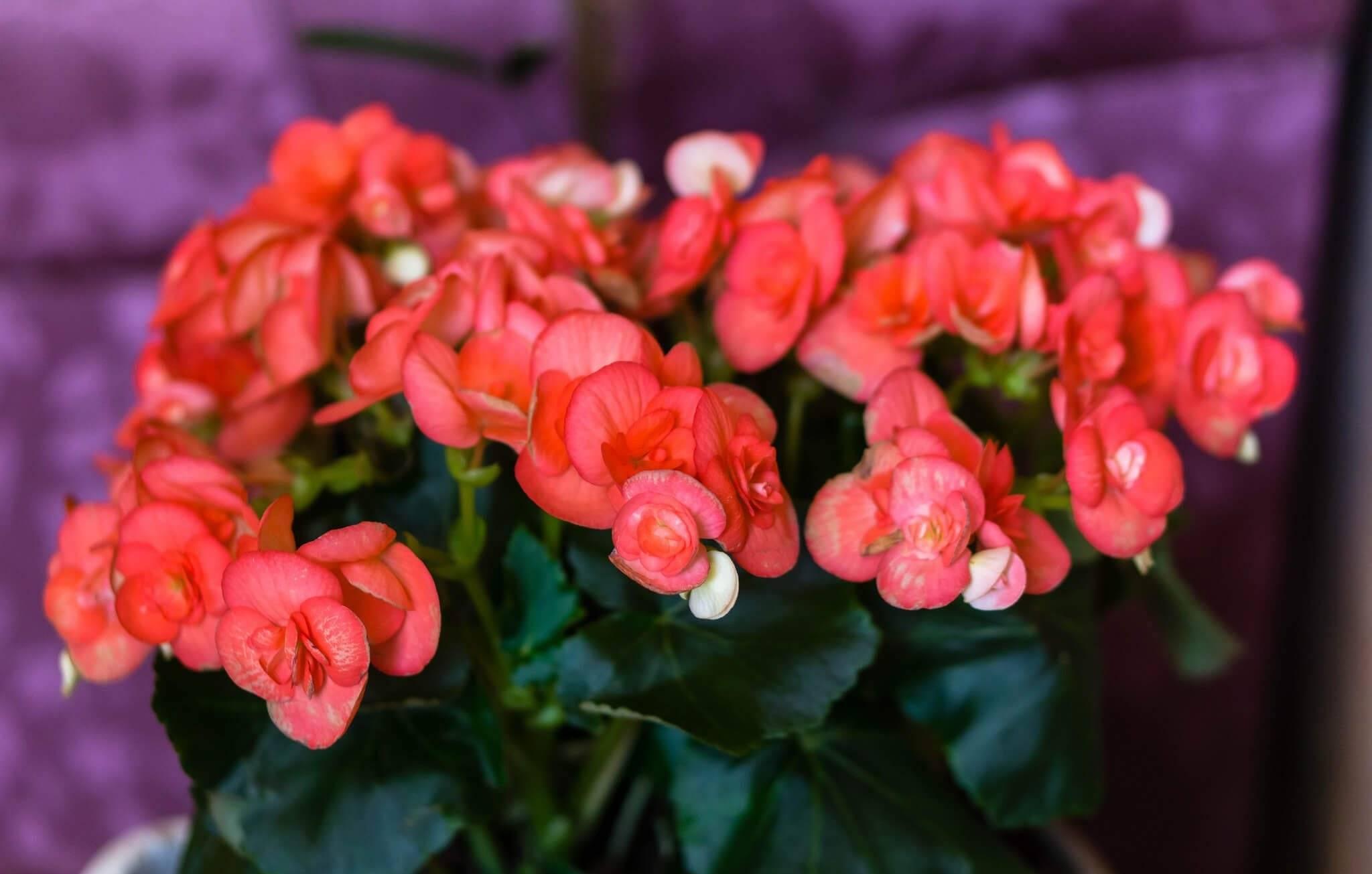 Бегония: уход в саду и в домашних условиях