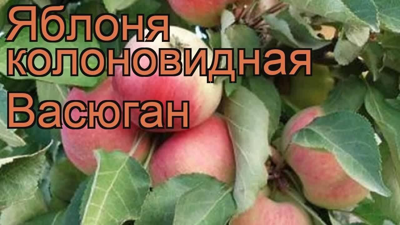 Яблоня колоновидная васюган: описание сорта, фото, отзывы