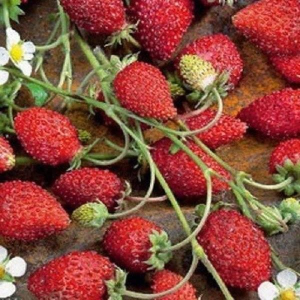 Земляника руяна: выращивание из семян