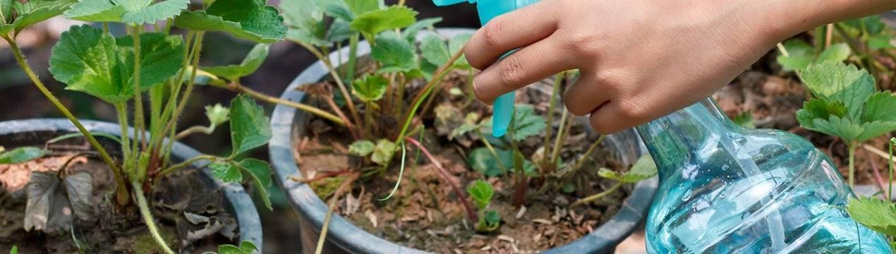 Обработка клубники весной от болезней и вредителей: как и чем опрыскивать