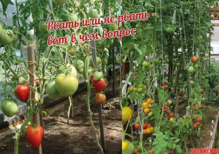 Советы, когда обрывать нижние листья у помидоров и как это правильно делать