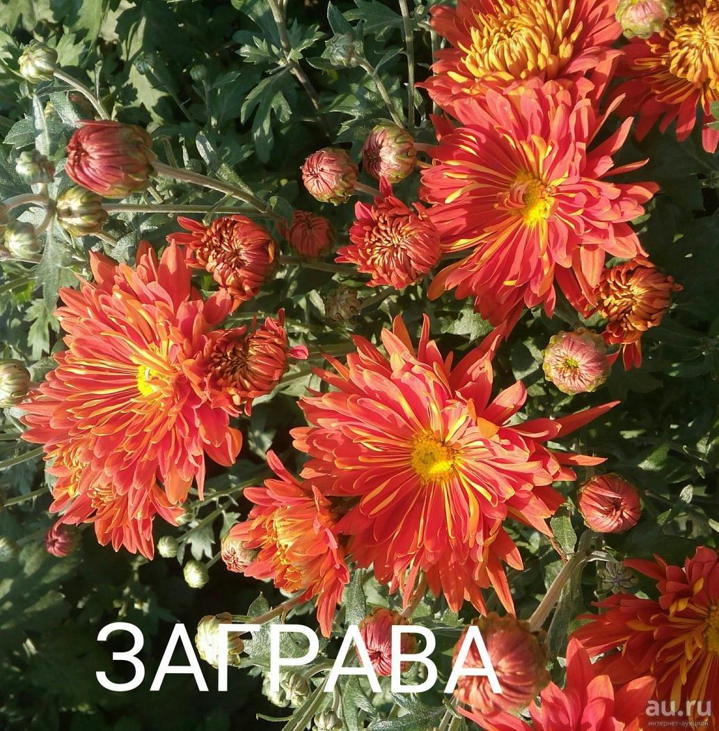 Хризантема индийская (51 фото): выращивание индикума из смеси семян в открытом грунте, хризантема махровая indicum decorum, «фанфары» и другие сорта. как правильно ухаживать?