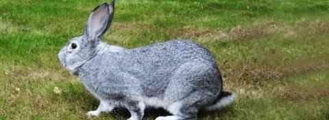 Кролики мясных пород (35 фото): какие кролики лучше подойдут для разведения на мясо? названия лучших бройлерных и мясо-шкурковых пород с описанием