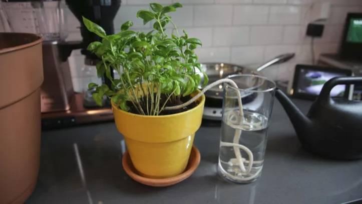 Полив лилий: как часто поливать их летом в открытом грунте? любят ли они полив? как правильно поливать во время цветения?
