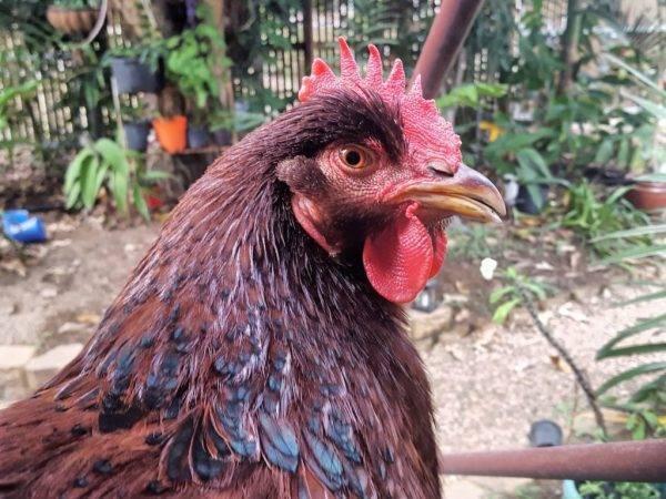 Породы кур: обзор пород для разведения в домашних условиях
