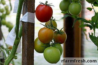 Как правильно посадить помидоры на рассаду дома: каким образом в условиях собственного производства сеять семена томатов, какие существуют способы возделывания?
