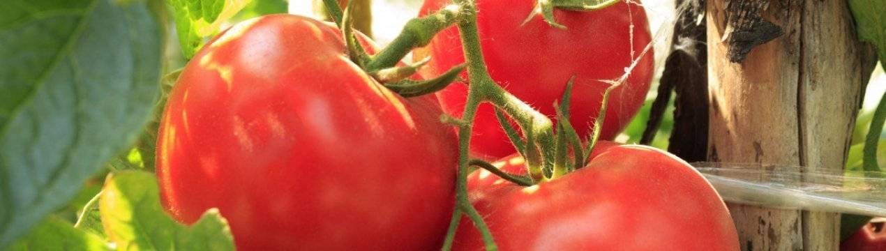 Посадка помидор: как правильно провести посев семян томатов, схемы размещения овоща на даче, в теплице и парнике, уход от а до я, особенности полива, а также фото
