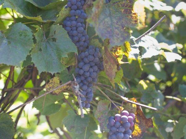 Почему виноград не плодоносит. почему не плодоносит виноград