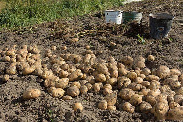 Сорт картофеля галактика: ботаническое описание, агротехника выращивания и уход