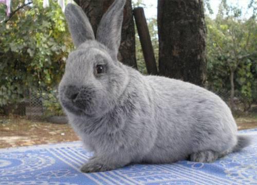 Кролики породы полтавское серебро: разведение и содержание в домашних условиях