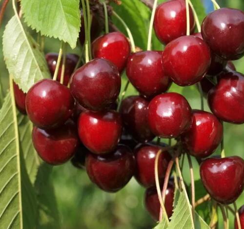 Сорта вишни для урала и сибири