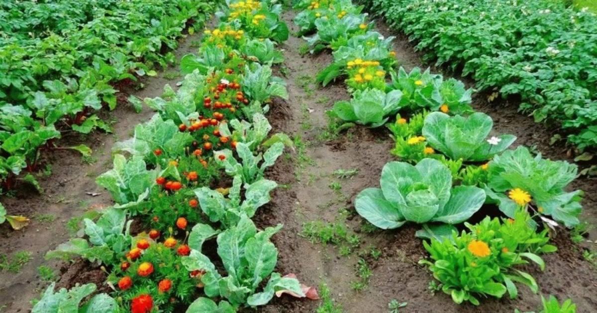 После каких растений можно высадить на грядке огурцы?