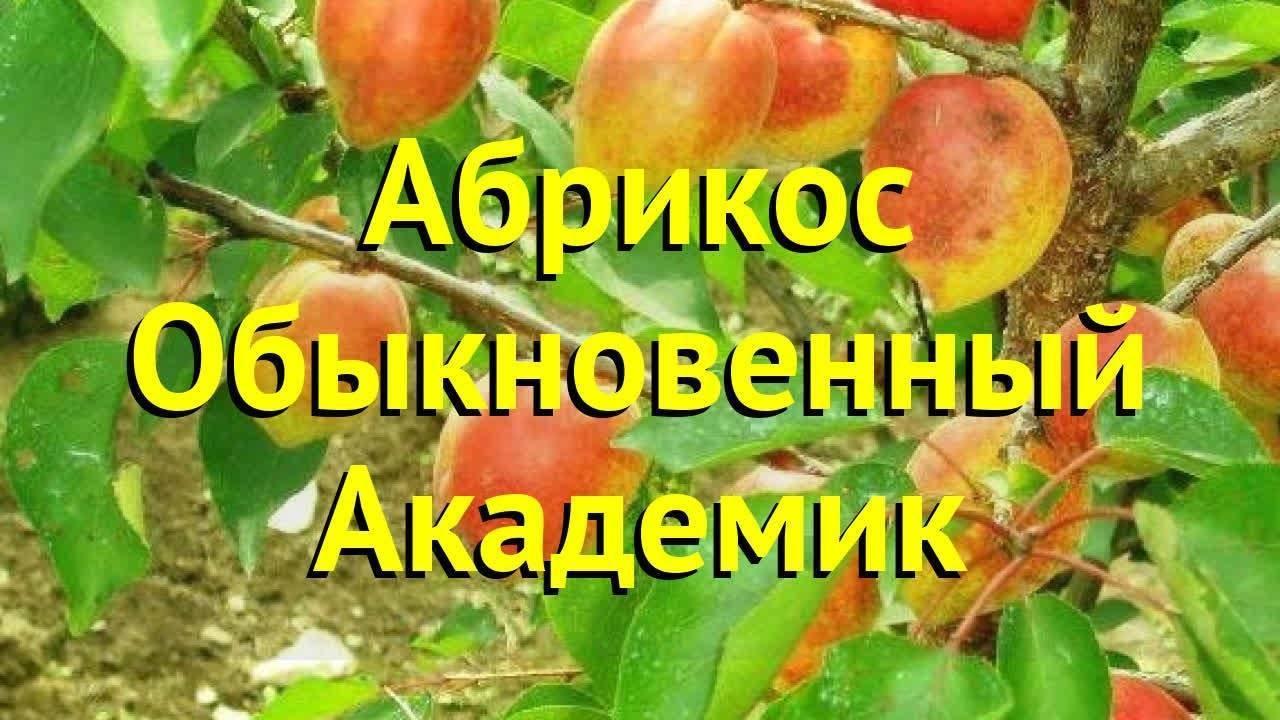 Особенности посадки и ухода за абрикосом академик