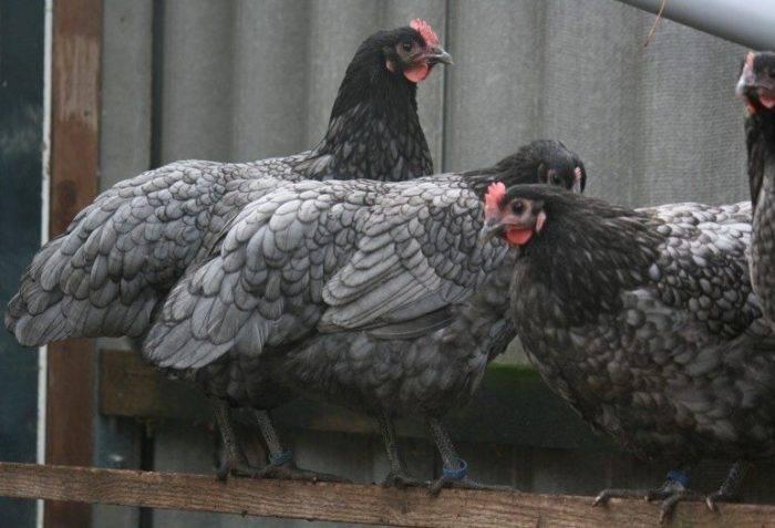 Австралорп чёрный и чёрно-пёстрый: описание породы кур и фото, характеристики и особенности выращивания цыплят