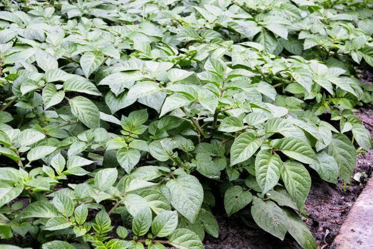 Выращивание картофеля из семян, технология посадки семенами на рассаду