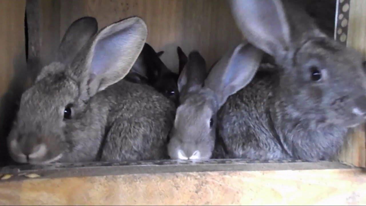 Кокцидиоз у кроликов: профилактика, как лечить