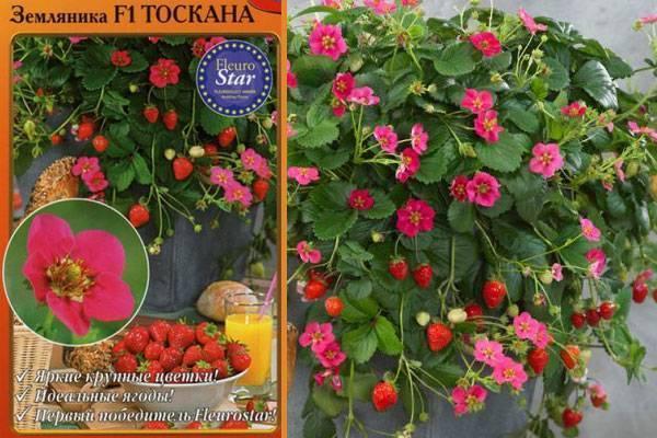 Все о розовоцветной клубнике: сорта и гибриды с описанием и фото