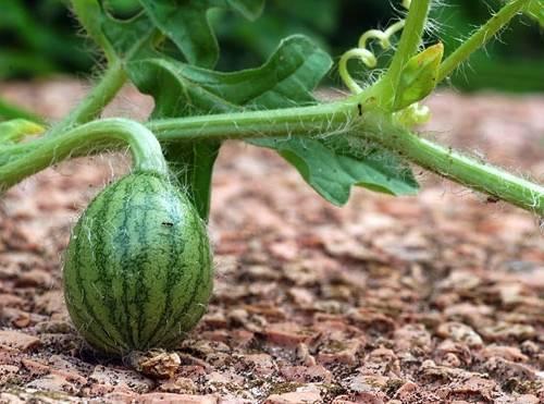 Как часто поливать арбузы в открытом грунте