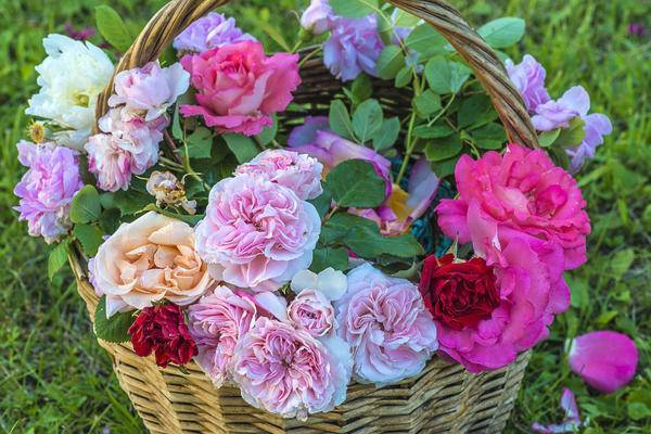 Правила обрезки роз после первого цветения: фото + видео