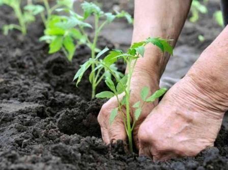 Подкормка помидоров в теплице: график, виды удобрений, особенности ухода
