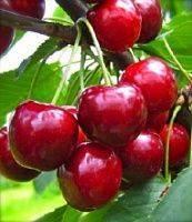 Сорт вишни вянок: описание и фото, характеристики и агротехника