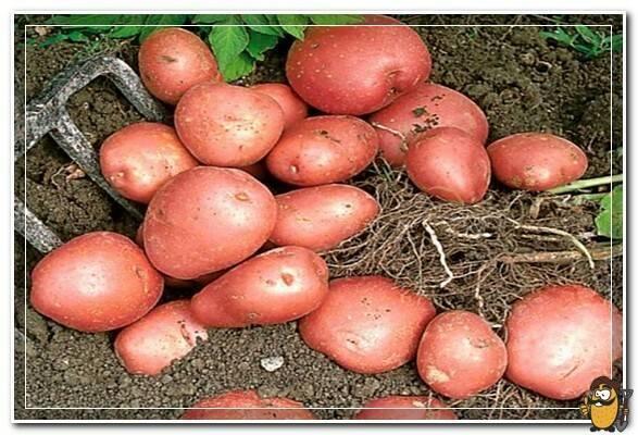 Сорт картофеля «манифест» – описание и фото