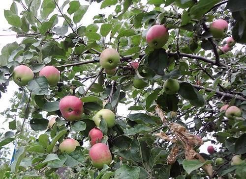 Характеристики сорта яблонь ренет черненко, описание и регионы выращивания