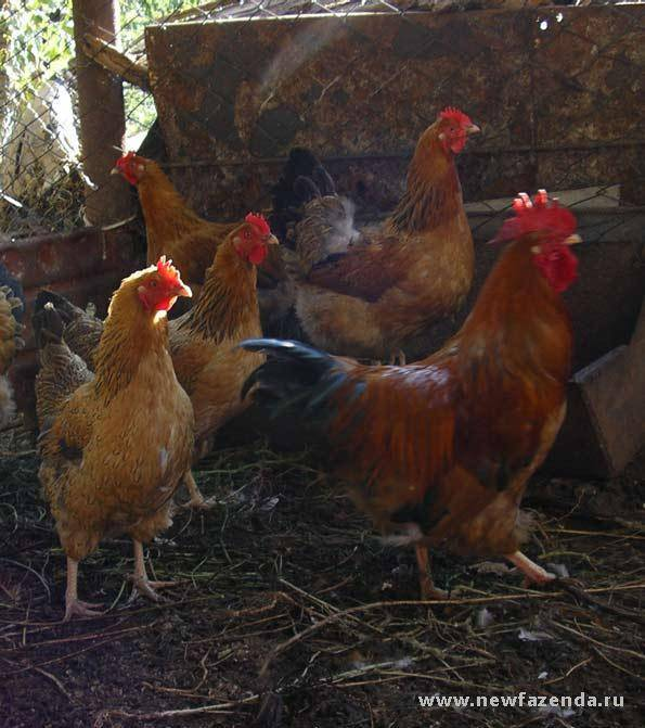 Кучинская юбилейная порода кур (41 фото): описание кучинских петухов и несушек. как различить пол у цыплят? отзывы владельцев