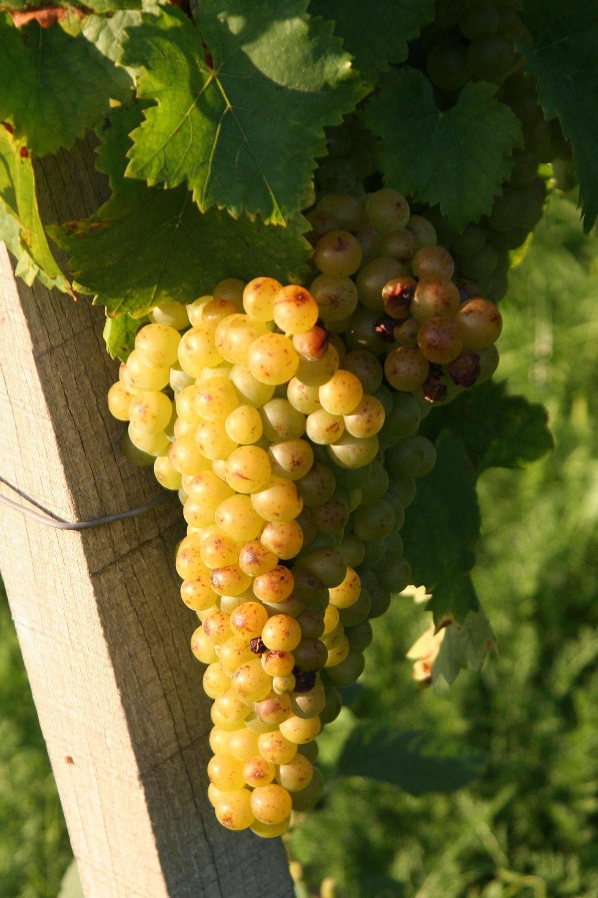 Морозостойкие сорта винограда вырастут даже в сибири