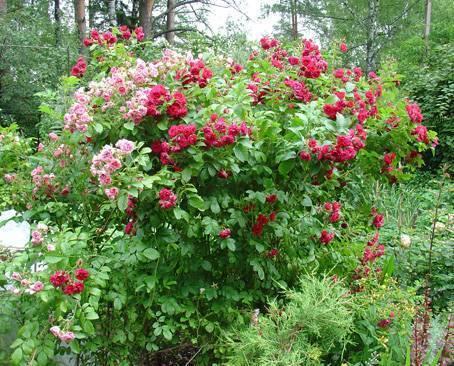Pink grootendorst роза