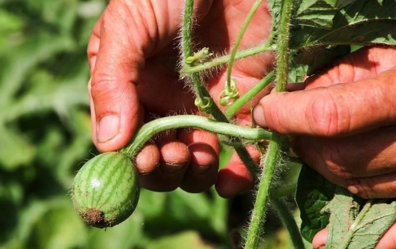 Как вырастить арбузы на своем дачном участке