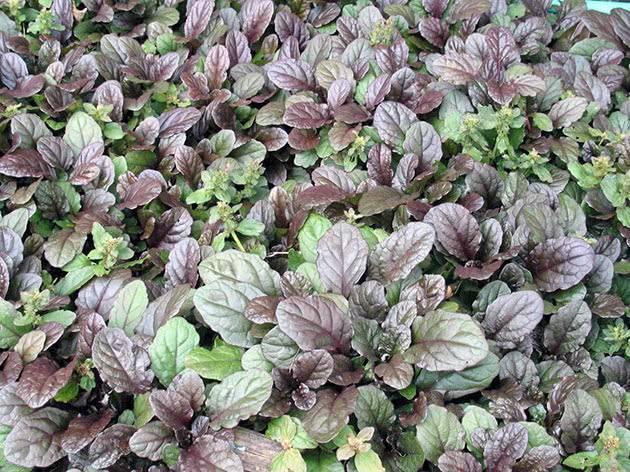 Живучка ползучая (ajuga reptans) — посадка и выращивание из семян