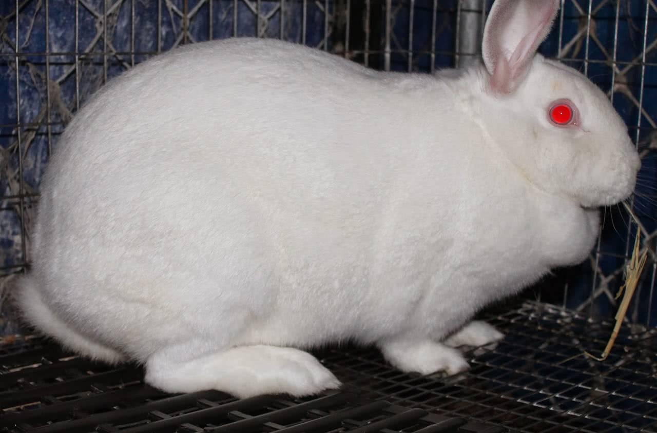 Сколько дней ходит беременная крольчиха