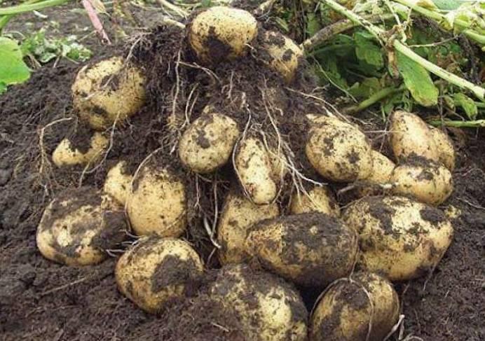 Посадка картофеля: подготовка, обработка, способы, полная инструкция