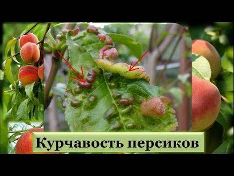 Лечение персика от курчавости листьев