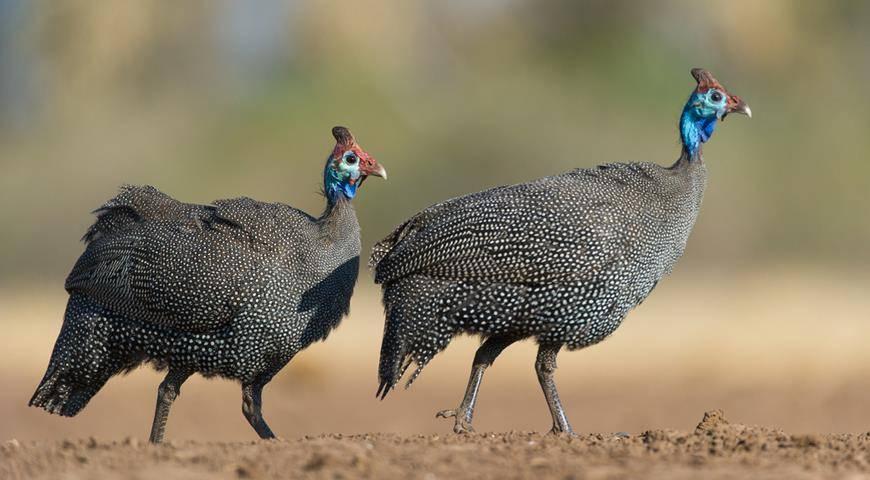 Цесарка – царская курица или птица, истребляющая колорадского жука.