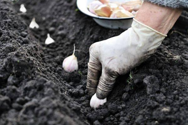 Когда сажать яровой чеснок в открытый грунт весной