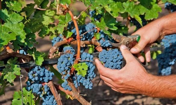 Нормировка винограда.
