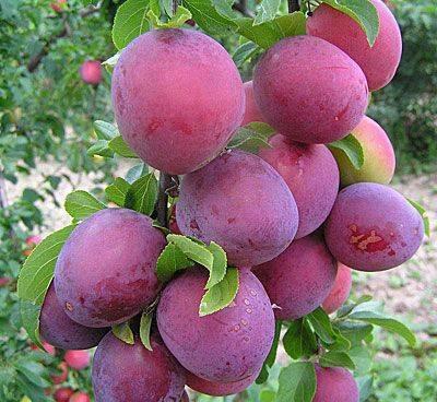 О алыче: популярные сорта, в чем отличие, особенности посадки, выращивания
