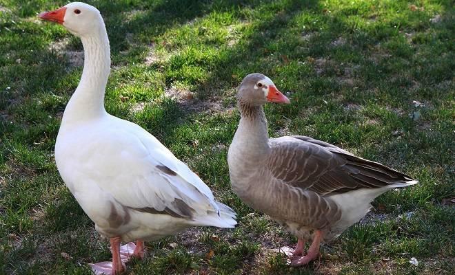 Как определить пол гуся и гусыни?